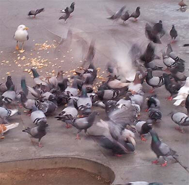 Eliminar plagas de palomas