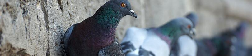Plagas de palomas