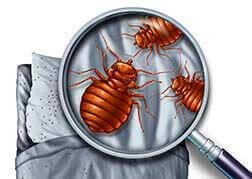 Control de plagas chinches cama