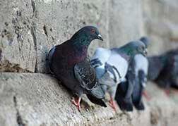 Control plagas palomas