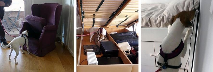 Detectar chinches inspección canina