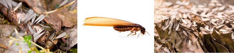 Fases termitas