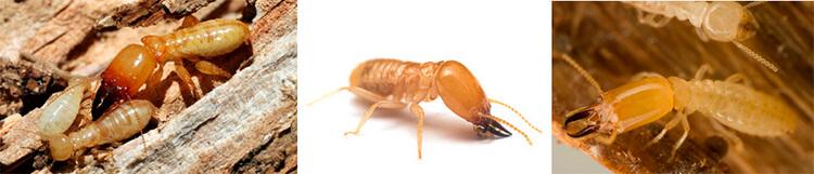Que son las termitas
