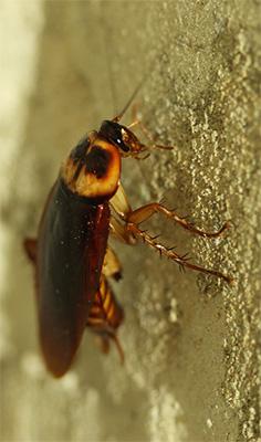 Como detectar cucarachas