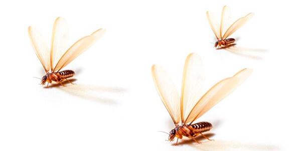 Como eliminar termitas -> Pasos a realizar para eliminar las termitas